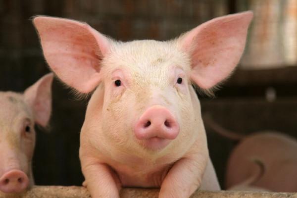 Мужики решили спарить своих свиней. Не поверишь, что из этого получилось!