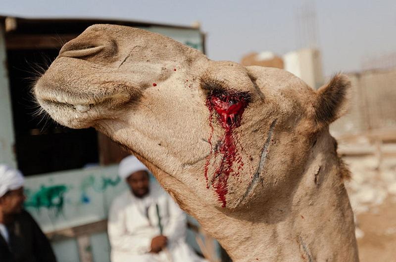 фото верблюд тупорылый